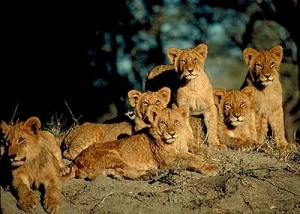 get it? a group of lions is called a pride haha. you're welcome.